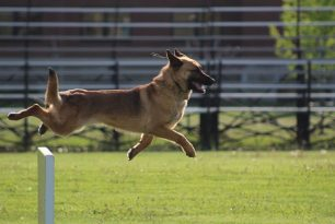 German Sheppard trotting as part of his police job,.